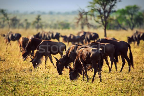 Rebanho africano savana safári serengeti Tanzânia Foto stock © photocreo