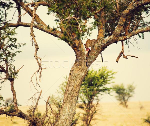 Leopárd eszik áldozat fa Tanzánia szafari Stock fotó © photocreo