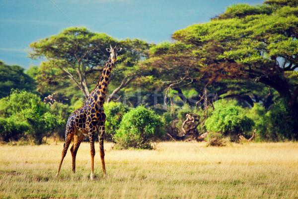 Zsiráf szavanna szafari Kenya Afrika fák Stock fotó © photocreo