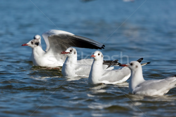 Seagulls floating on the sea in a line. Stock photo © photocreo