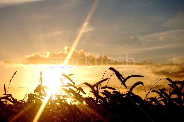 Sunset field scenery Stock photo © photocreo