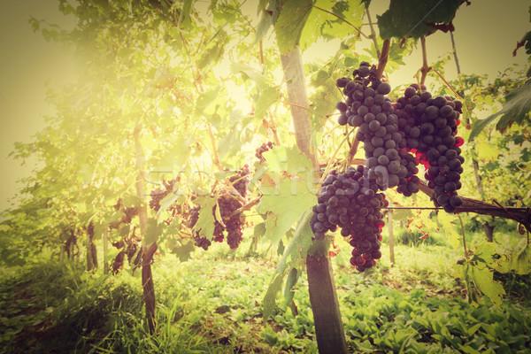 érett bor szőlő szőlő Toszkána szőlőskert Stock fotó © photocreo