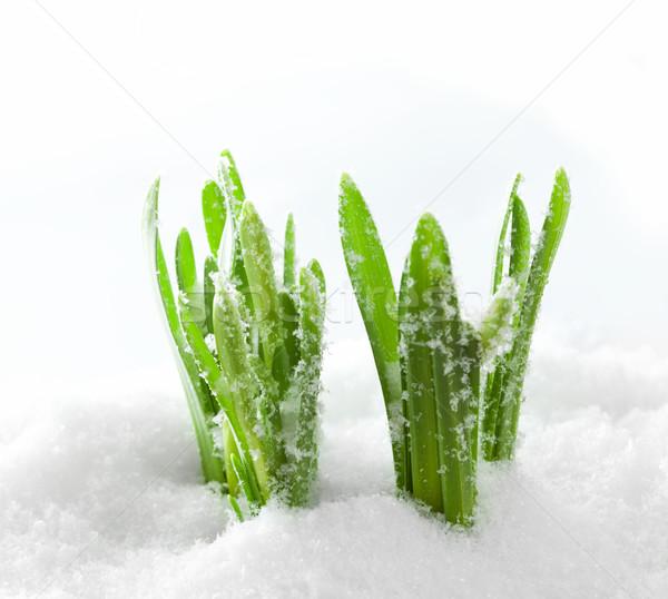 Fresh green grass growing form snow. Spring start Stock photo © photocreo