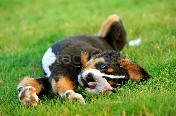 Portré kutyakölyök berni pásztorkutya játszik fű kutya Stock fotó © photocreo