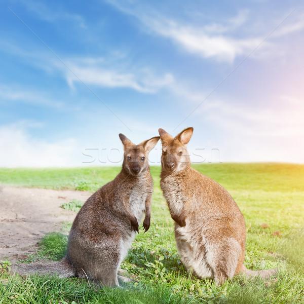 Kanguru çift ayakta bakıyor kamera Avustralya Stok fotoğraf © photocreo