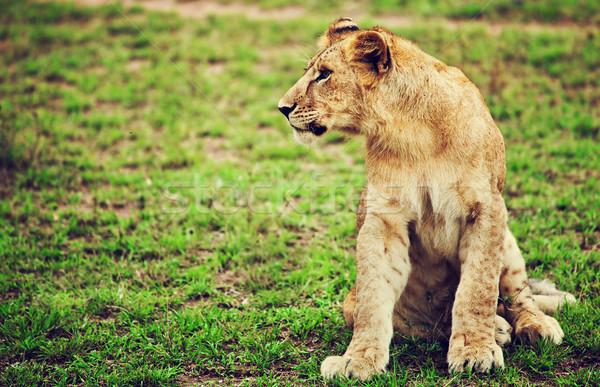 Kicsi oroszlán medvebocs portré Tanzánia Afrika Stock fotó © photocreo