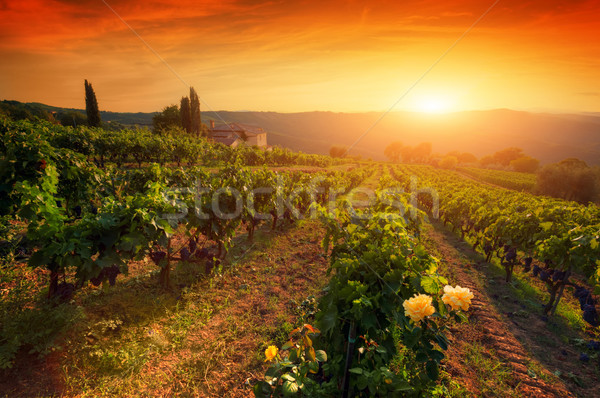 Ripe wine grapes on vines in Tuscany, Italy. Wine farm, sunset warm light Stock photo © photocreo