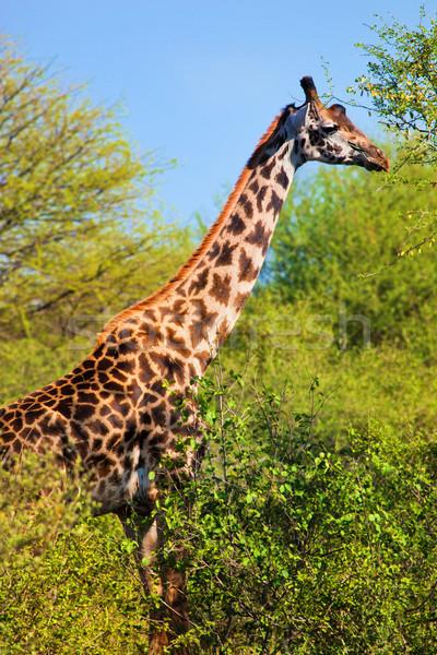 Zsiráf fák szafari Serengeti Tanzánia Afrika Stock fotó © photocreo