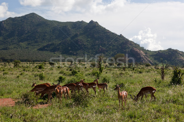 Impala's herd on savanna in Africa Stock photo © photocreo