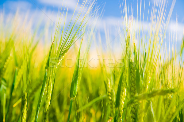 Wheat field. Agriculture Stock photo © photocreo
