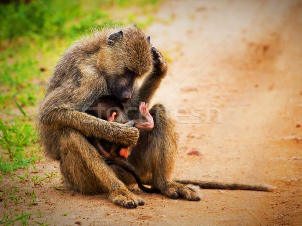 Pávián majmok afrikai bokor nyugat Kenya Stock fotó © photocreo