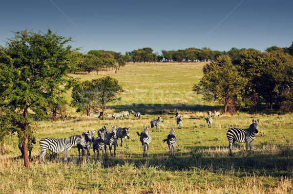 Zebras herd on African savanna. Stock photo © photocreo