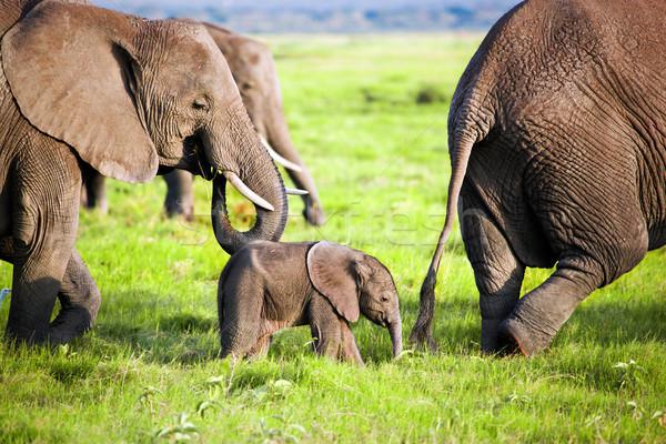 Stock fotó: Elefántok · család · szavanna · szafari · Kenya · Afrika