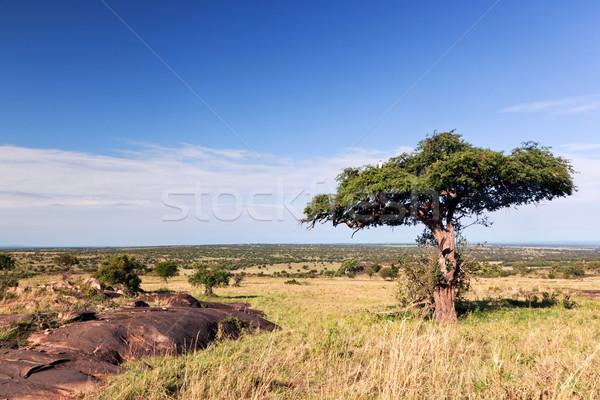 Single tree on savanna, bush in Africa. Tsavo West, Kenya. Stock photo © photocreo