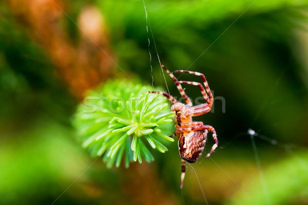 Európai kert pók kereszt fajok közelkép Stock fotó © photocreo