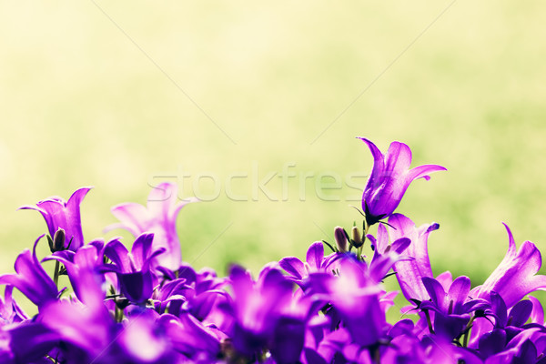 Fresh flowers close-up on grass natural background. Stock photo © photocreo
