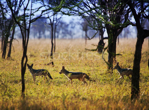Jackals on savanna. Safari in Serengeti, Tanzania, Africa Stock photo © photocreo