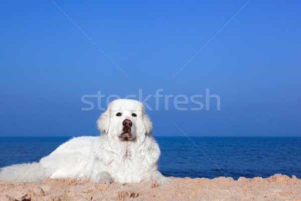 Cute blanche chien plage chien de berger mer Photo stock © photocreo