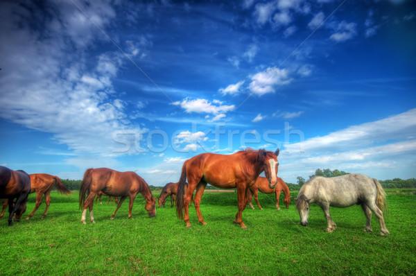 Cavalos campo belo perfeito floresta Foto stock © photocreo