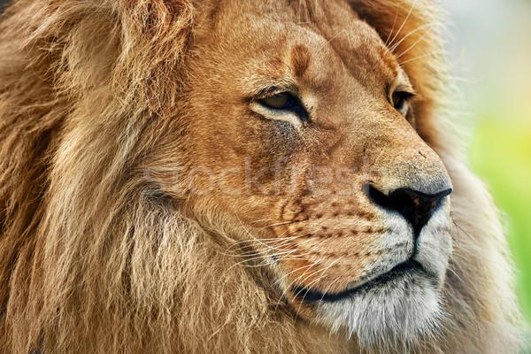 Lion portrait with rich mane on savanna, safari Stock photo © photocreo