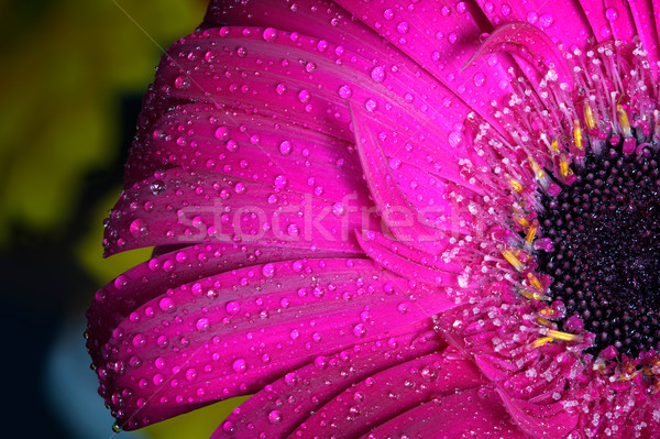 Fresh wet gerbera flower close-up at spring. Great as background or greeting card Stock photo © photocreo
