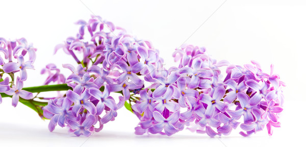 Spring lilac flowers blooming. Isolated on white, banner. Stock photo © photocreo