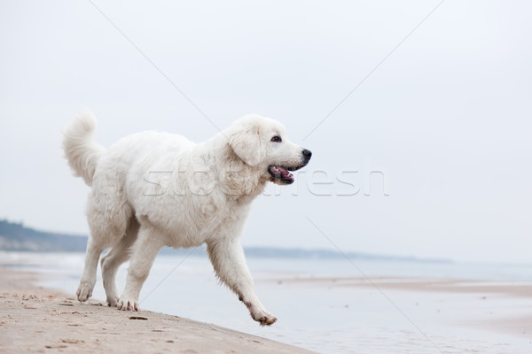 Cute white dog walking on the beach. Polish Tatra Sheepdog Stock photo © photocreo