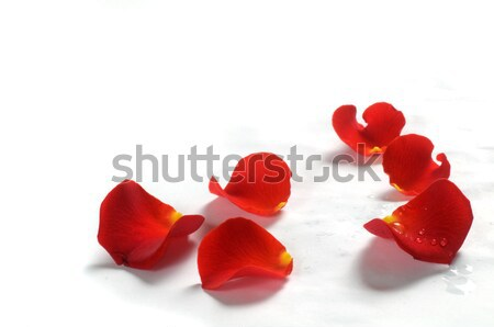 Rose petals on white background Stock photo © photocreo