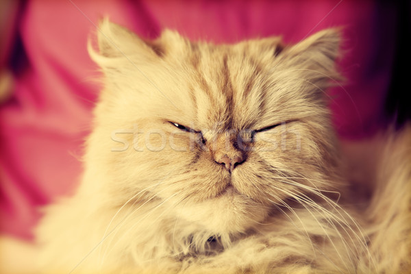 Cute perzische kat naar portret camera Stockfoto © photocreo