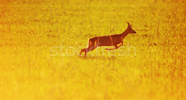 Animal background. Roe-deer Stock photo © photocreo