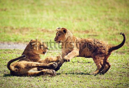 Klein leeuw spelen Tanzania afrika savanne Stockfoto © photocreo