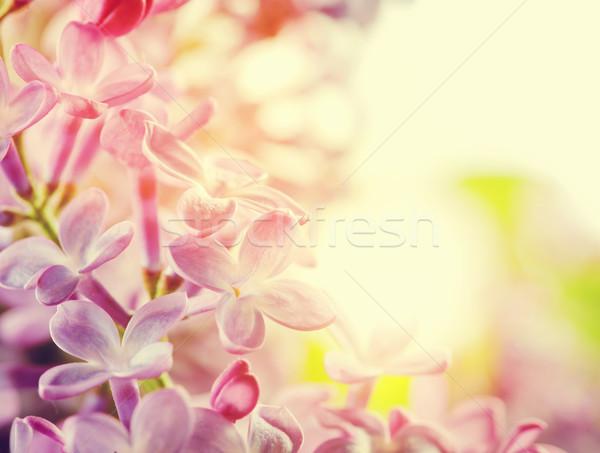 Púrpura primavera lila flores primer plano Foto stock © photocreo