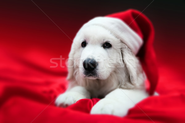 Cute white puppy dog in Chrstimas hat lying in red satin Stock photo © photocreo