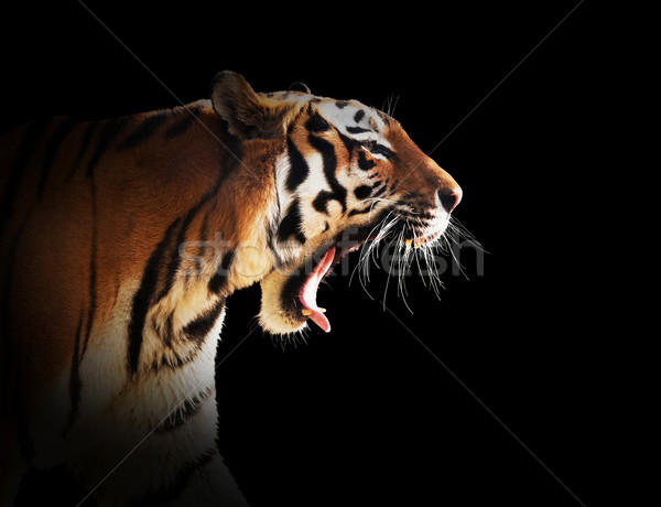 Wild tiger roaring. Black background. Stock photo © photocreo