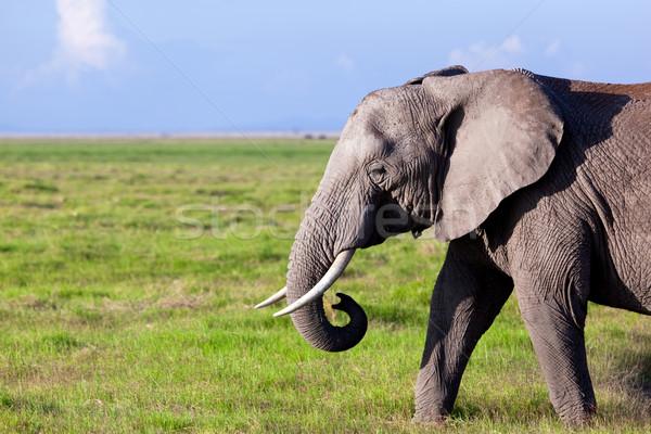 Elephant on savanna. Safari in Amboseli, Kenya, Africa Stock photo © photocreo