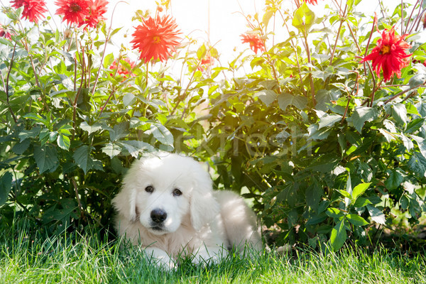 Cute white puppy dog lying on grass in flowers. Polish Tatra Sheepdog Stock photo © photocreo