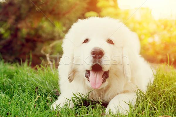 Cute witte puppy hond gras herdershond Stockfoto © photocreo