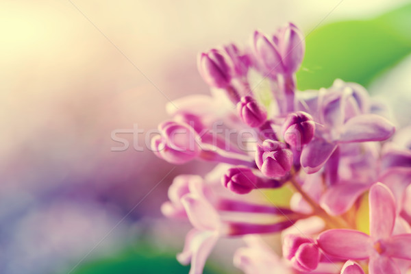 Purple spring lilac flowers blooming close-up Stock photo © photocreo