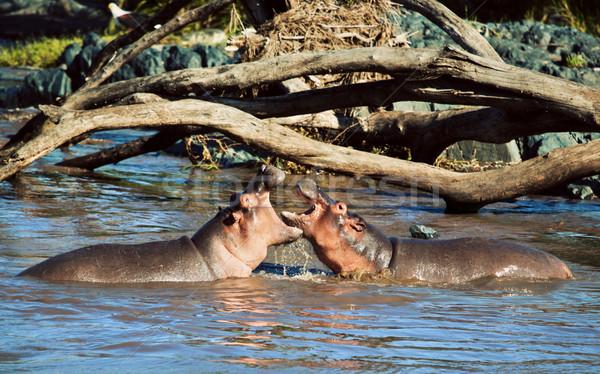 Víziló víziló harcol folyó Serengeti Tanzánia Stock fotó © photocreo