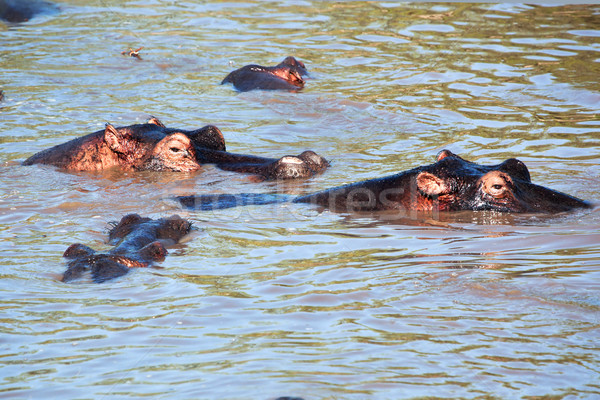 Víziló víziló csoport folyó Serengeti Tanzánia Stock fotó © photocreo