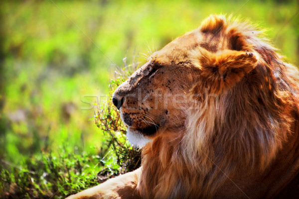 мужчины лев саванна Safari Серенгети Сток-фото © photocreo