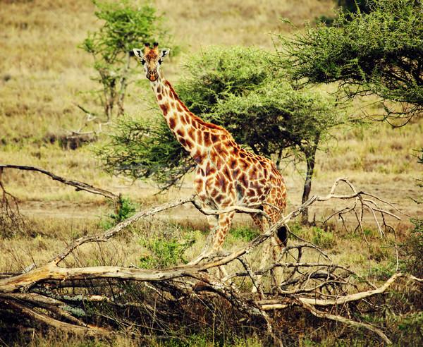 Giraffe on African savanna Stock photo © photocreo