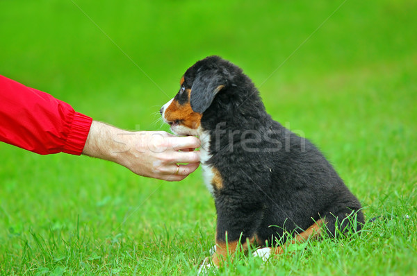 Playing with Bernese mountain dog Stock photo © photocreo