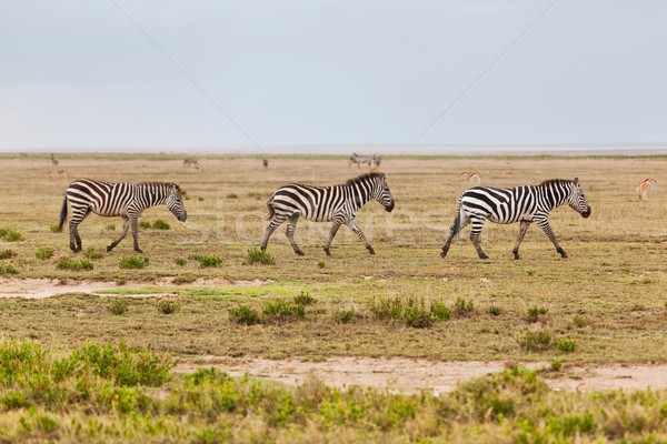 Zebrele turma african savana Africa safari Imagine de stoc © photocreo