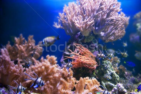 Vízalatti élet korallzátony hal színes növények Stock fotó © photocreo