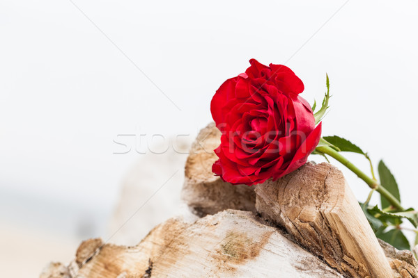 Stock photo: Red rose on the beach. Love, romance, melancholy concepts.