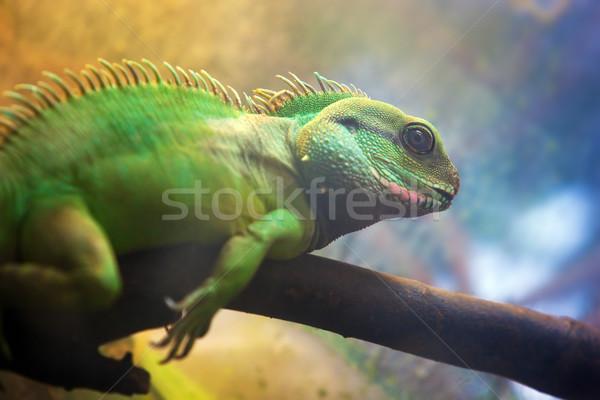 Leguaan tak boom lichaam groene Stockfoto © photocreo