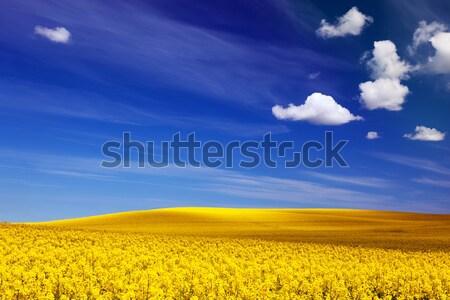 Frühling Bereich Landschaft gelben Blüten Vergewaltigung blau Stock foto © photocreo