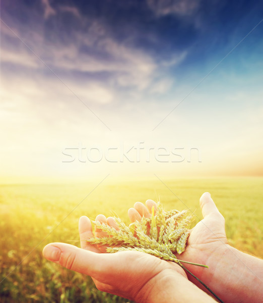 Fresh green cereal, grain in farmer's hands. Agriculture, harvest  Stock photo © photocreo