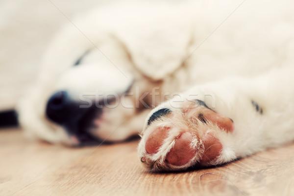 Cute white puppy dog sleeping on wooden floor. Polish Tatra Sheepdog Stock photo © photocreo